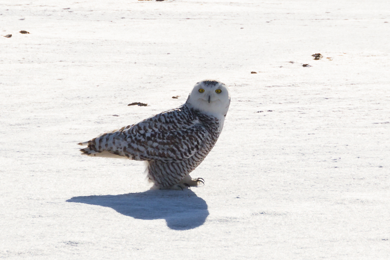Snowy Owl at YYZ