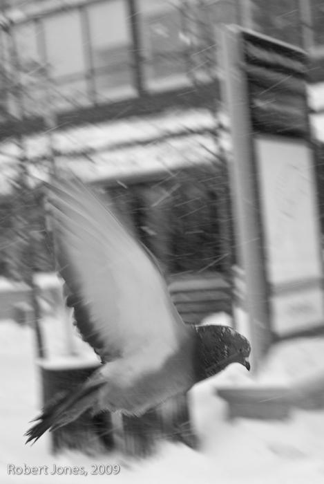 pigeon-in-flight
